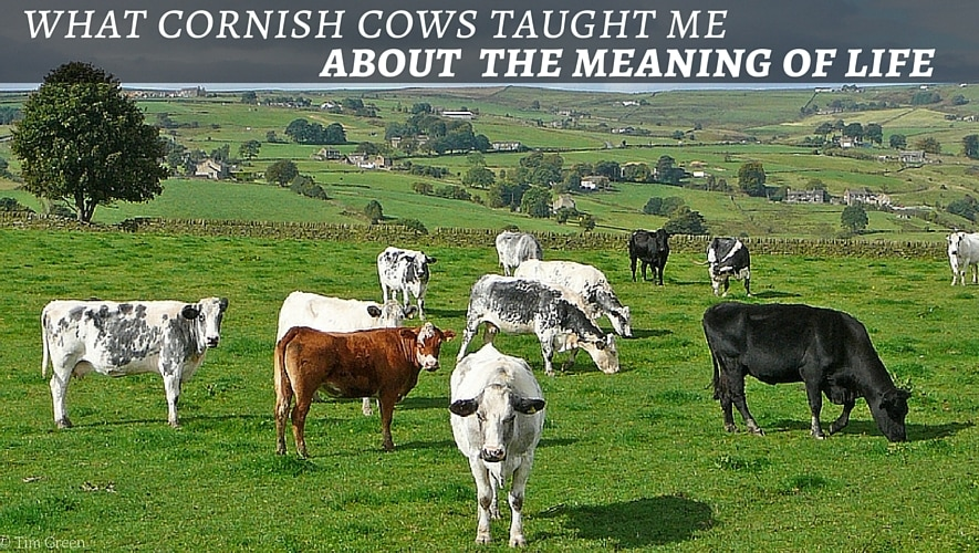 What Cornish Cows Taught Me About the Meaning of Life