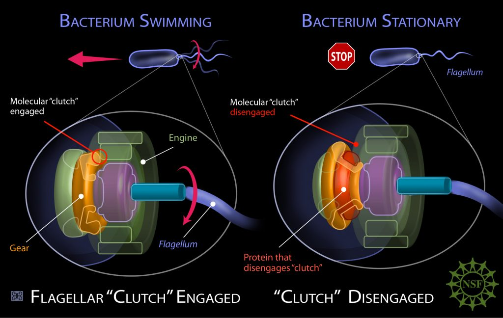 explanation of bacterium flagellum clutch mechanism